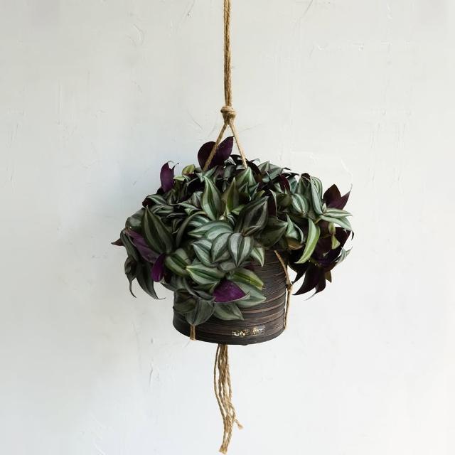 【CNFlower 西恩】紫背鴨拓草 咖啡條紋吊盆大加吊繩(送禮/植栽/植物/觀葉植物)